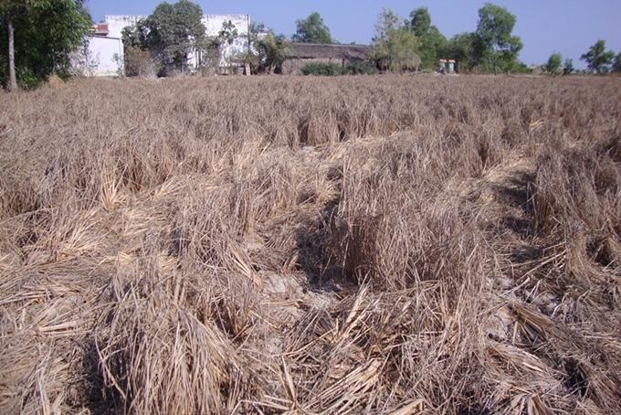 Những cánh đồng lúa chín vàng ngày nào cũng trở nên xám xịt