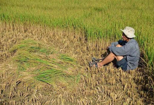 Gạo Việt vẫn giữ được vị thế của mình nhưng lại rơi vào thực trạng thất thủ - Ảnh: Internet